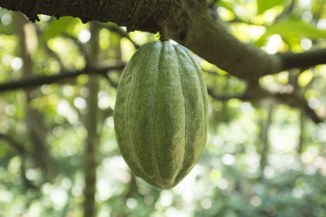 Superfoods - Cacao