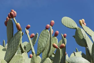 What is Great about Prickly Pear Cactus